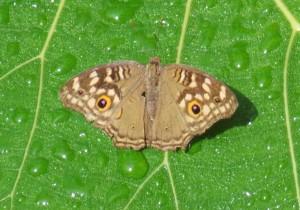 Butterflies 014