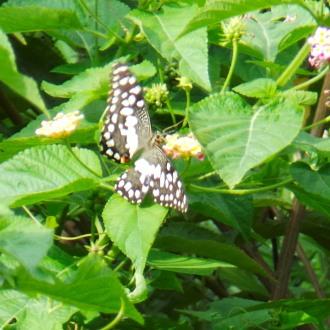 Butterflies 084