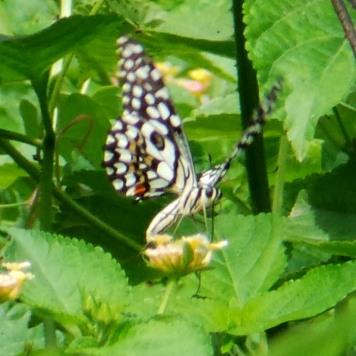 Butterflies 152