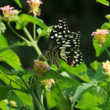 Butterflies 194