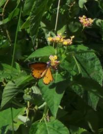 Butterflies 259
