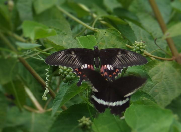 Butterfly 023