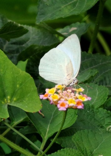 Cabbage white_20150727_150750