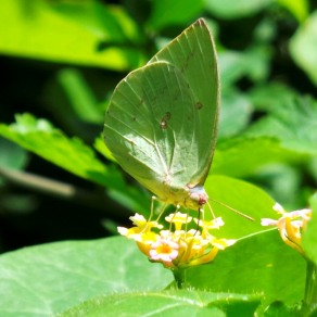 Mottled emigrant_20150718_105652