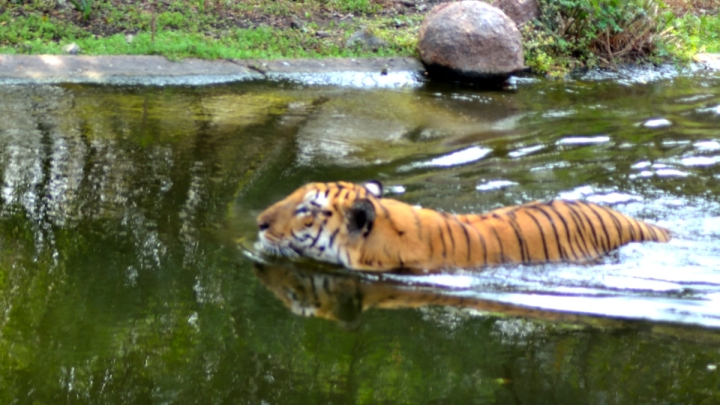 Tiger_20151206_104401_02