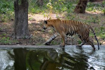 Tiger_20151206_104408