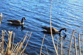 Geese_1