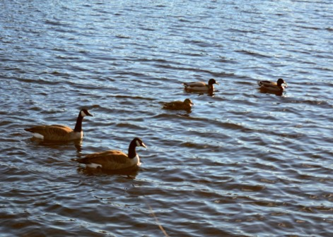 Geese_1_03